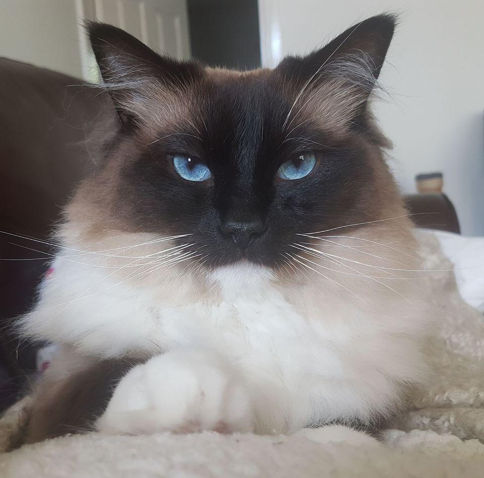 Samson. Ragdoll. 4 years old. Full pedigree. Purchased as a kitten