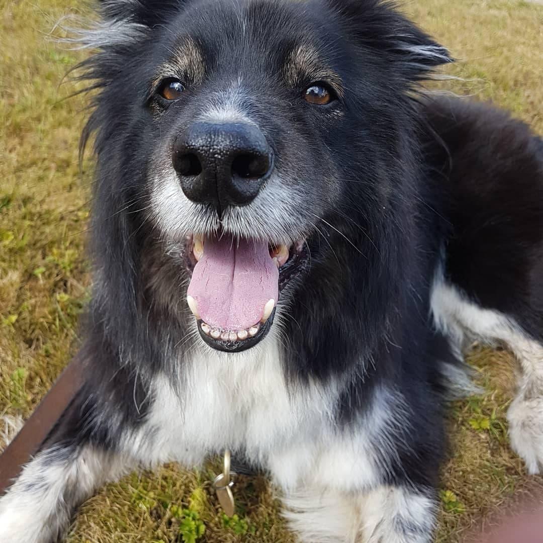 Moby. Border Collie. 10 years old. Working bred, farm dog. Given to me