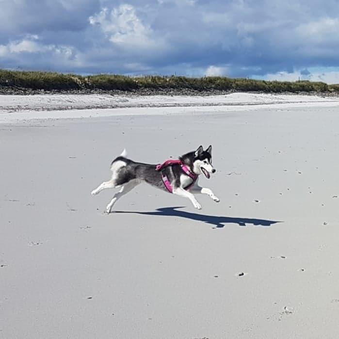 Viv. Siberian Husky. 2 years old. Rescue