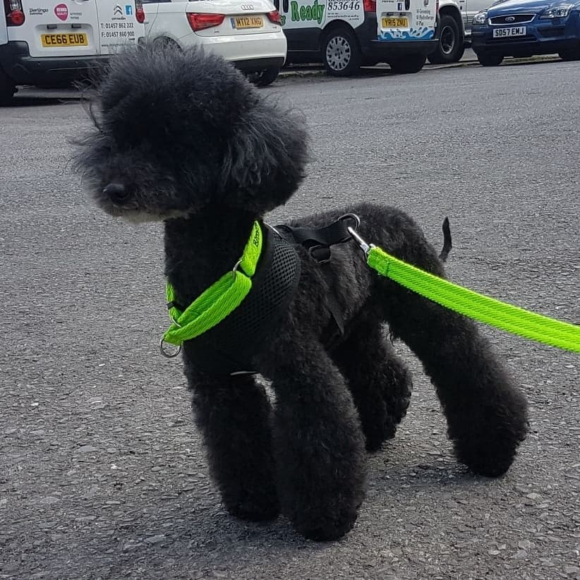 Jaxx. Toy Poodle. 11 years old. Full pedigree. Rescue