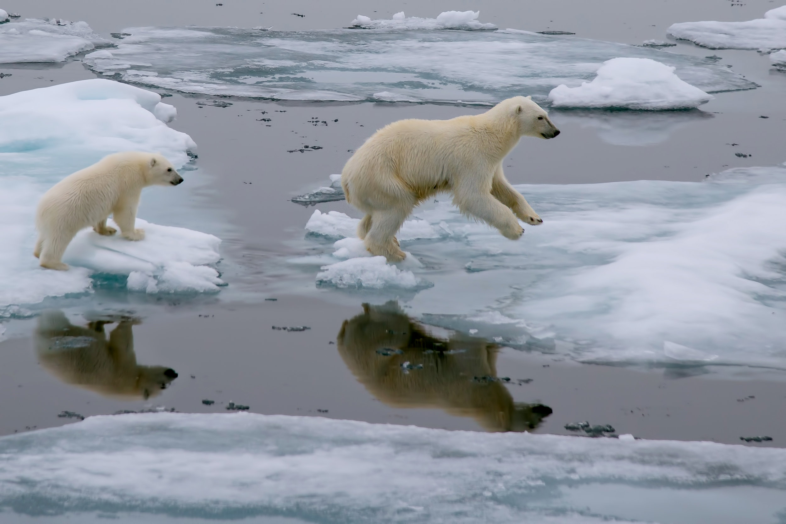 "A million species are facing ""The Sixth Great Extinction"" from rapid climate change, not just signature megafauna like polar bears but every part of the food web on which WE also depend. Credit: Shutterstock.com."