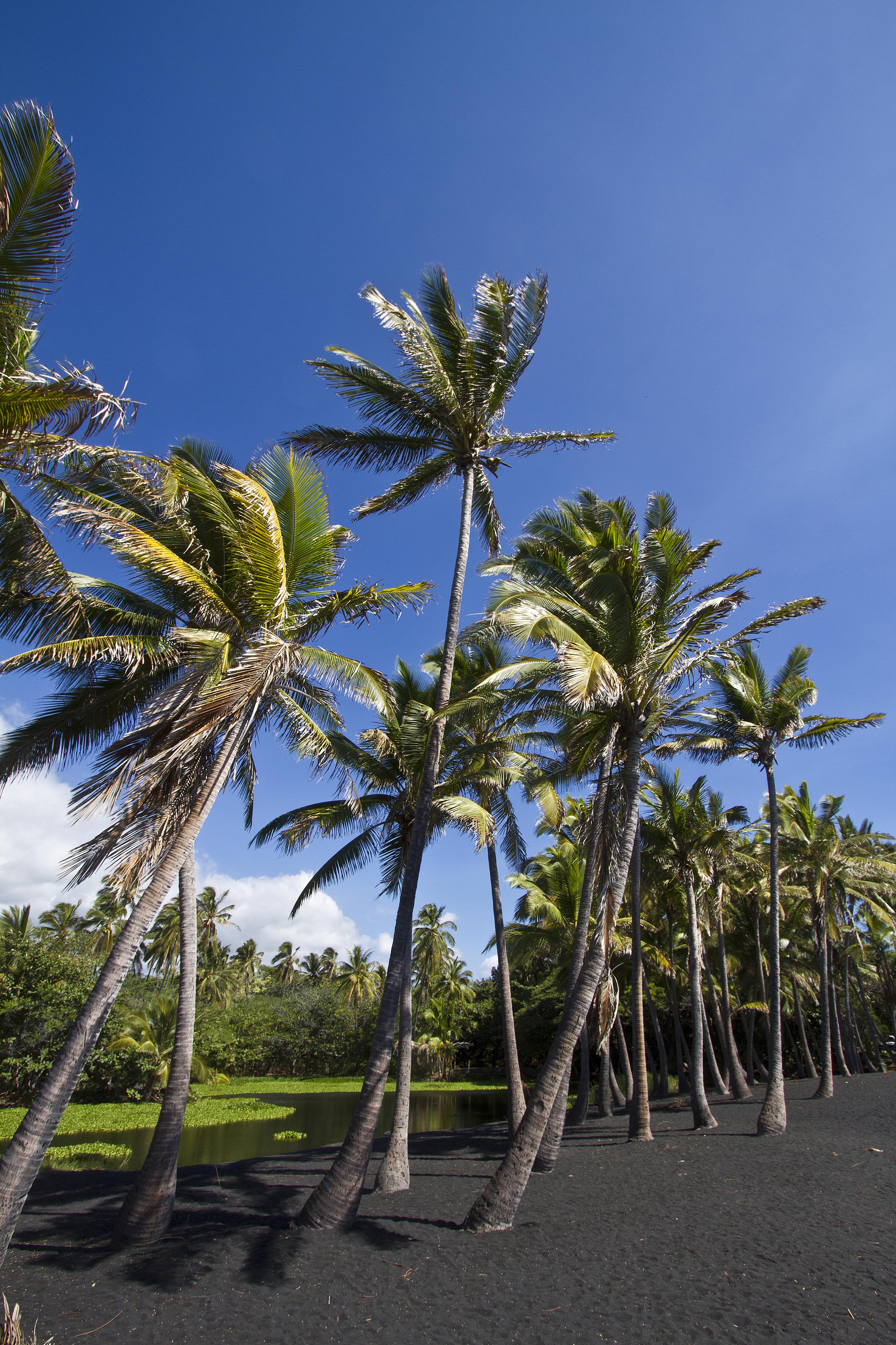 Punalu'u Palms