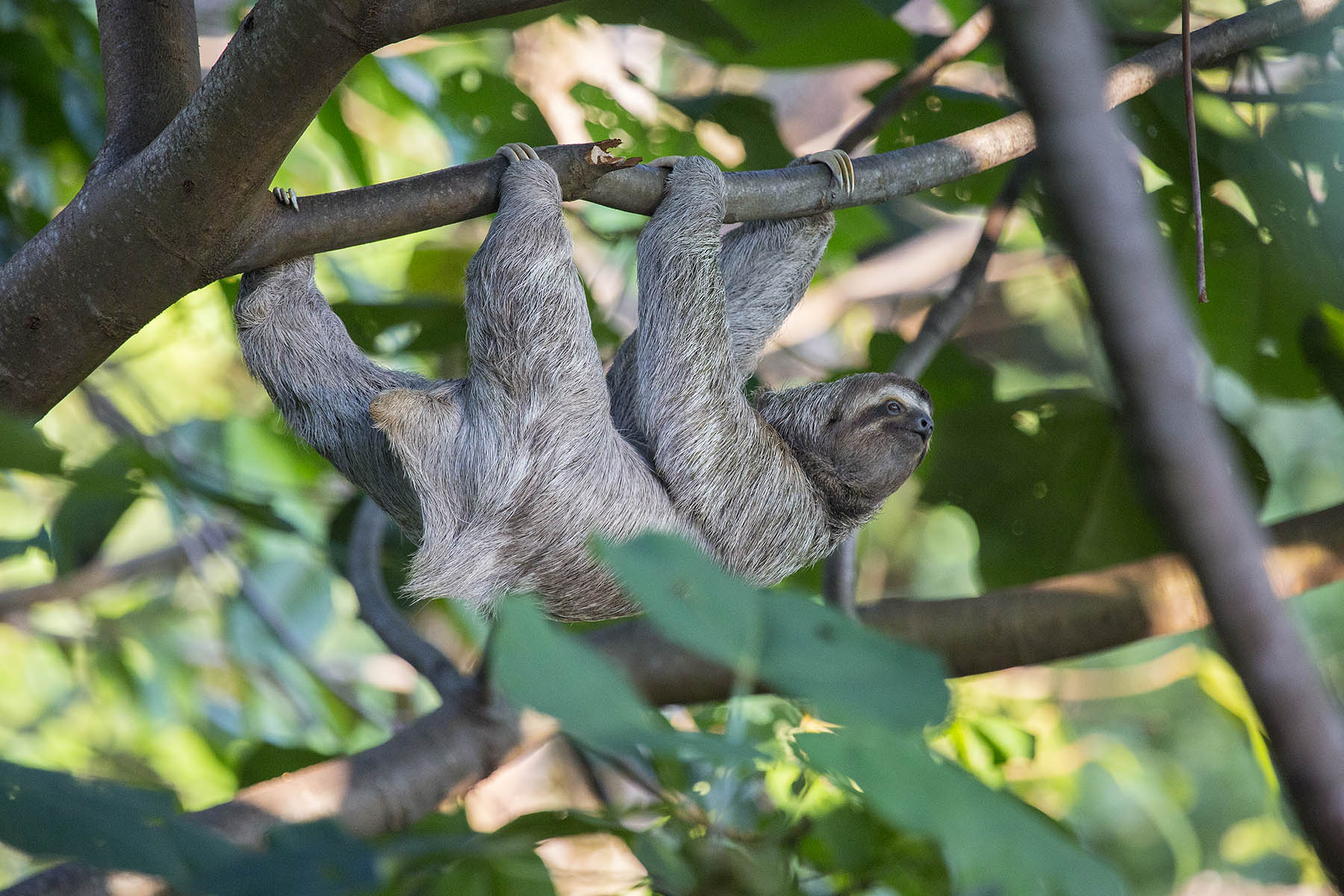 HangingSloth881lr.jpg