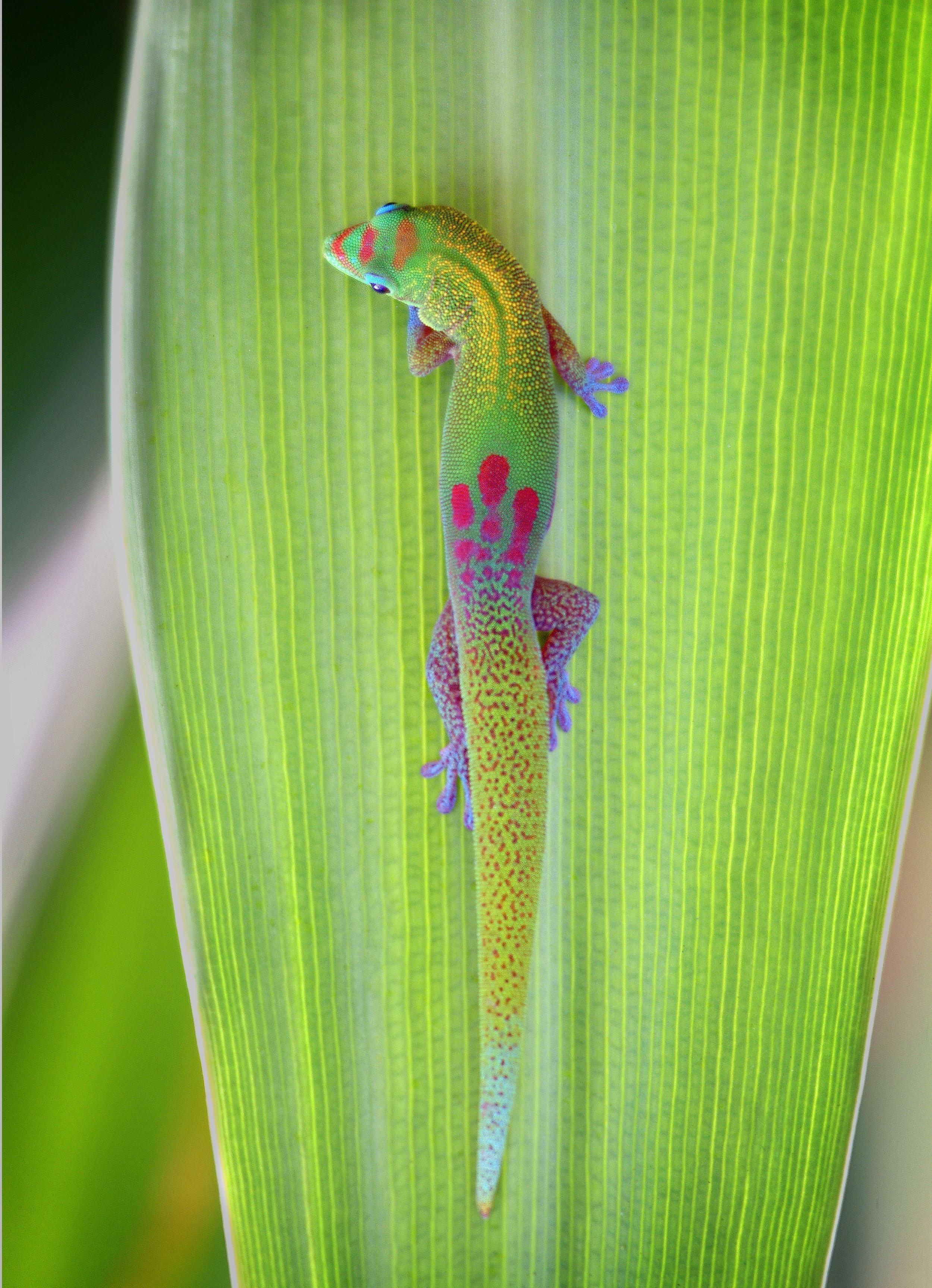leafgecko.jpg