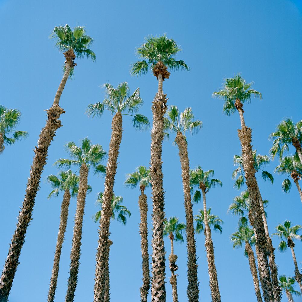 ca-palmsprings-palmtrees-10282015.jpg