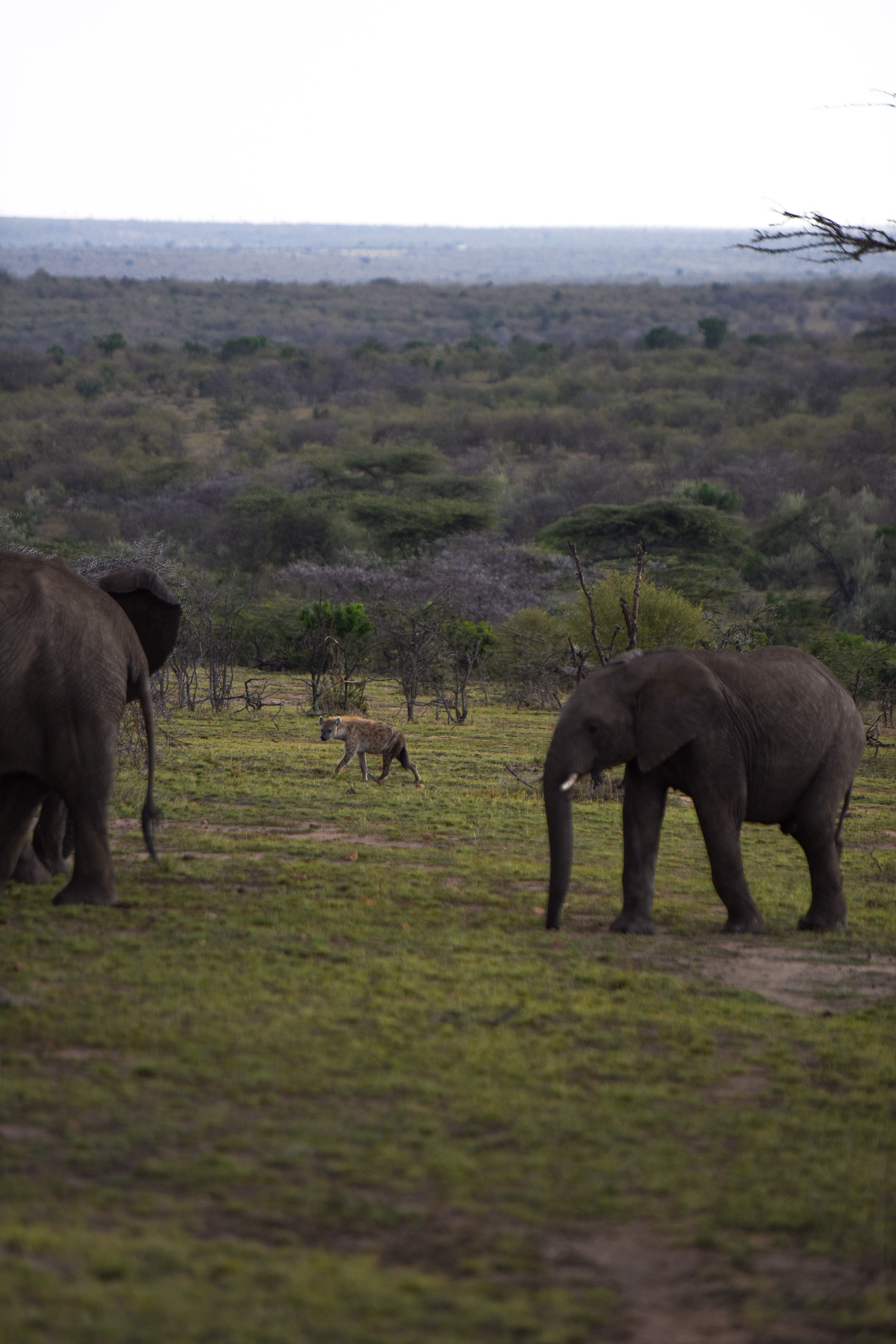 A spotted hyenda stalks a herd of elephants in Nashulai Conservancy.