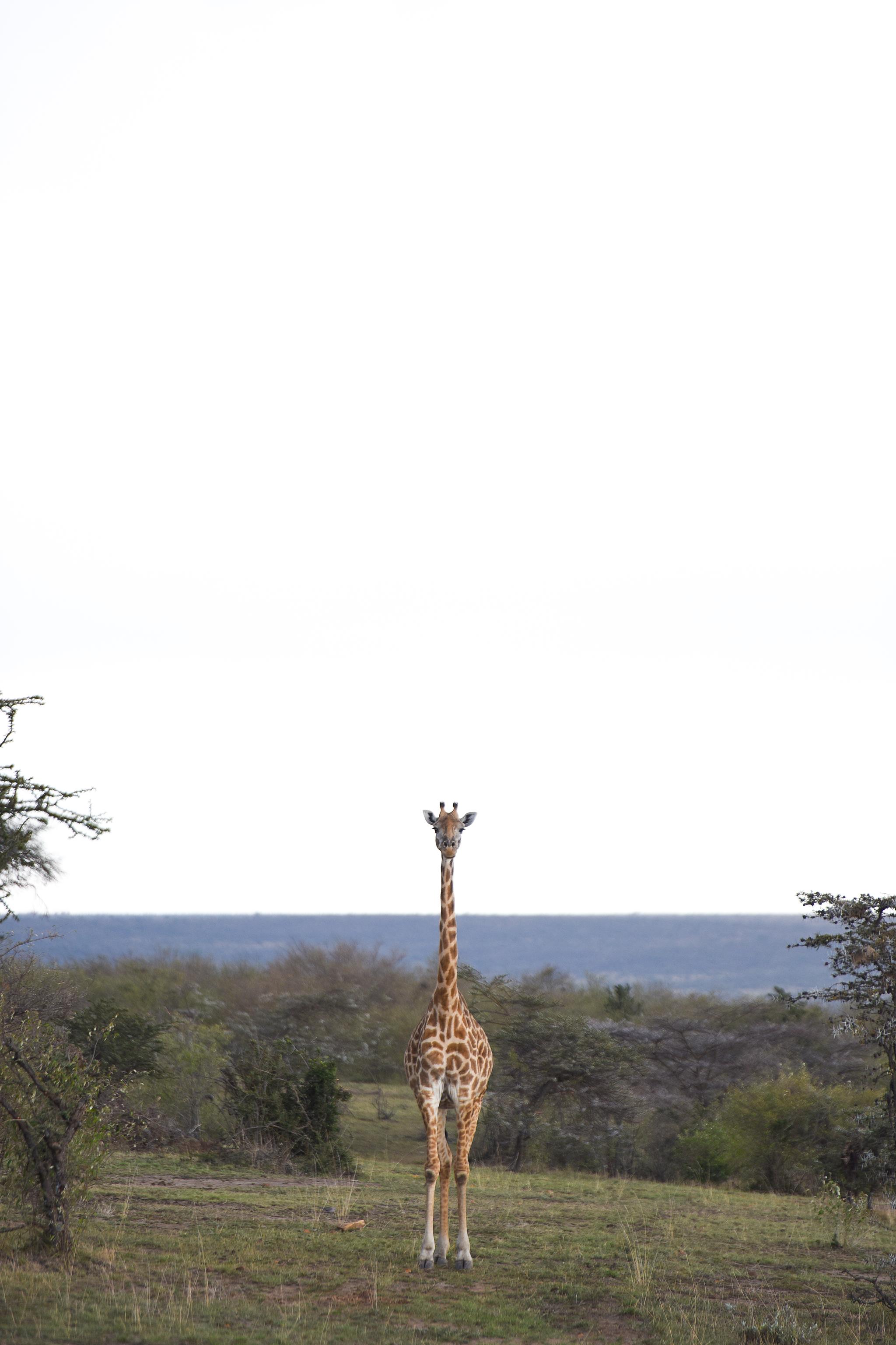 A Masai giraffe in Nashulai Conservancy.