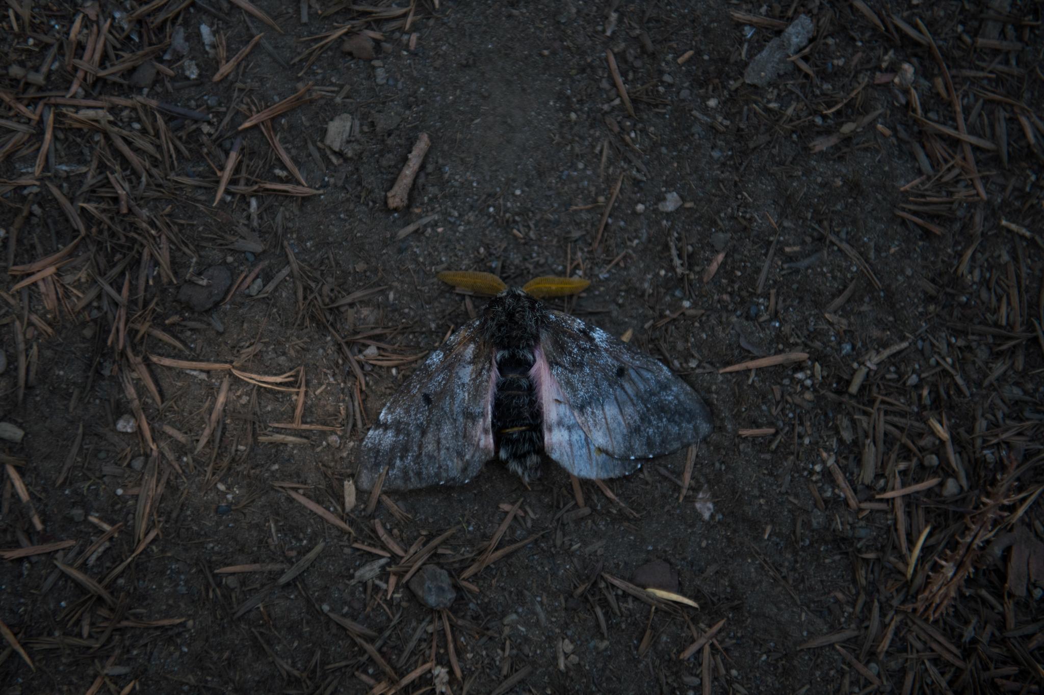 Pandora moths were in unexpected abundance  in Bend.