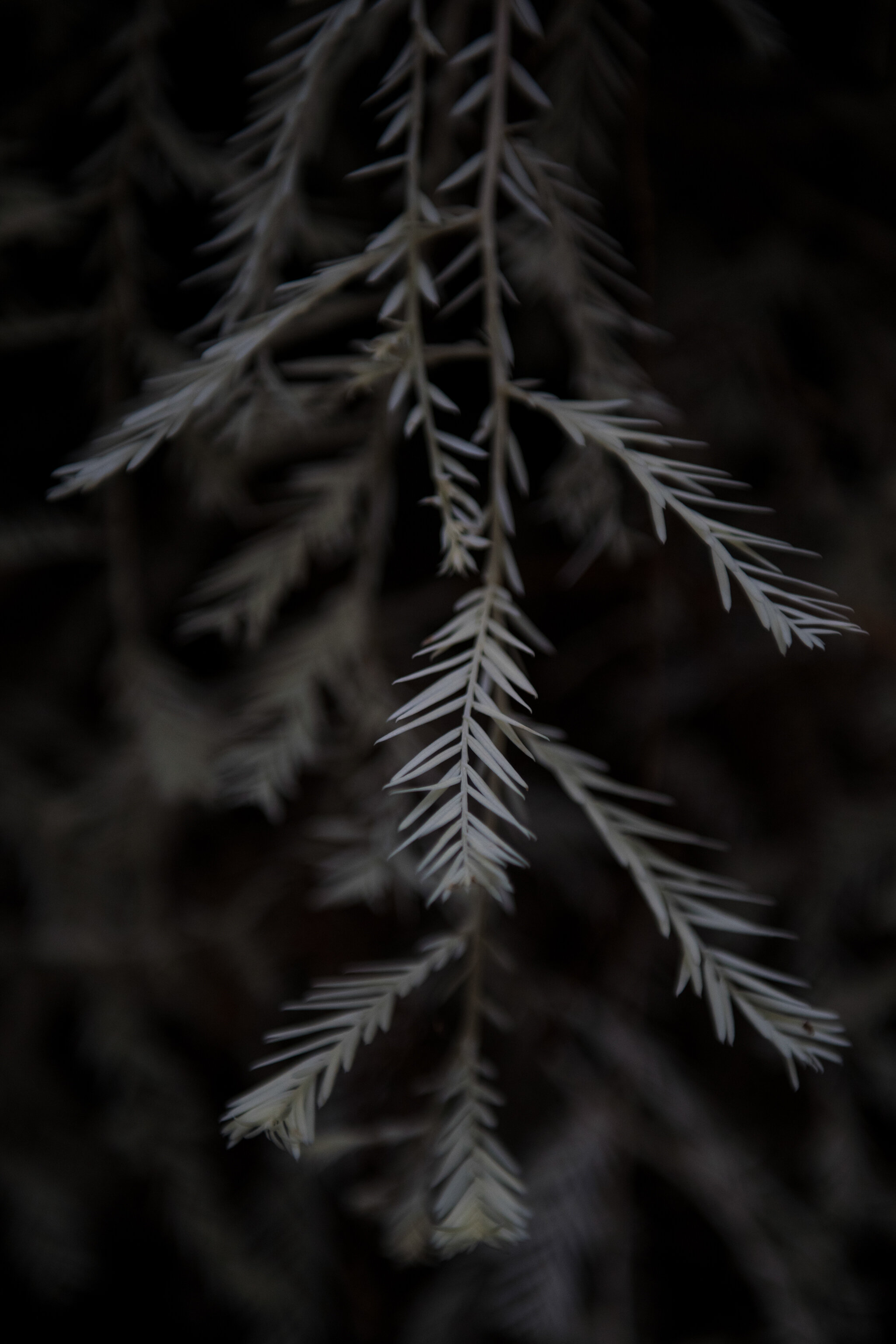 An albino redwood