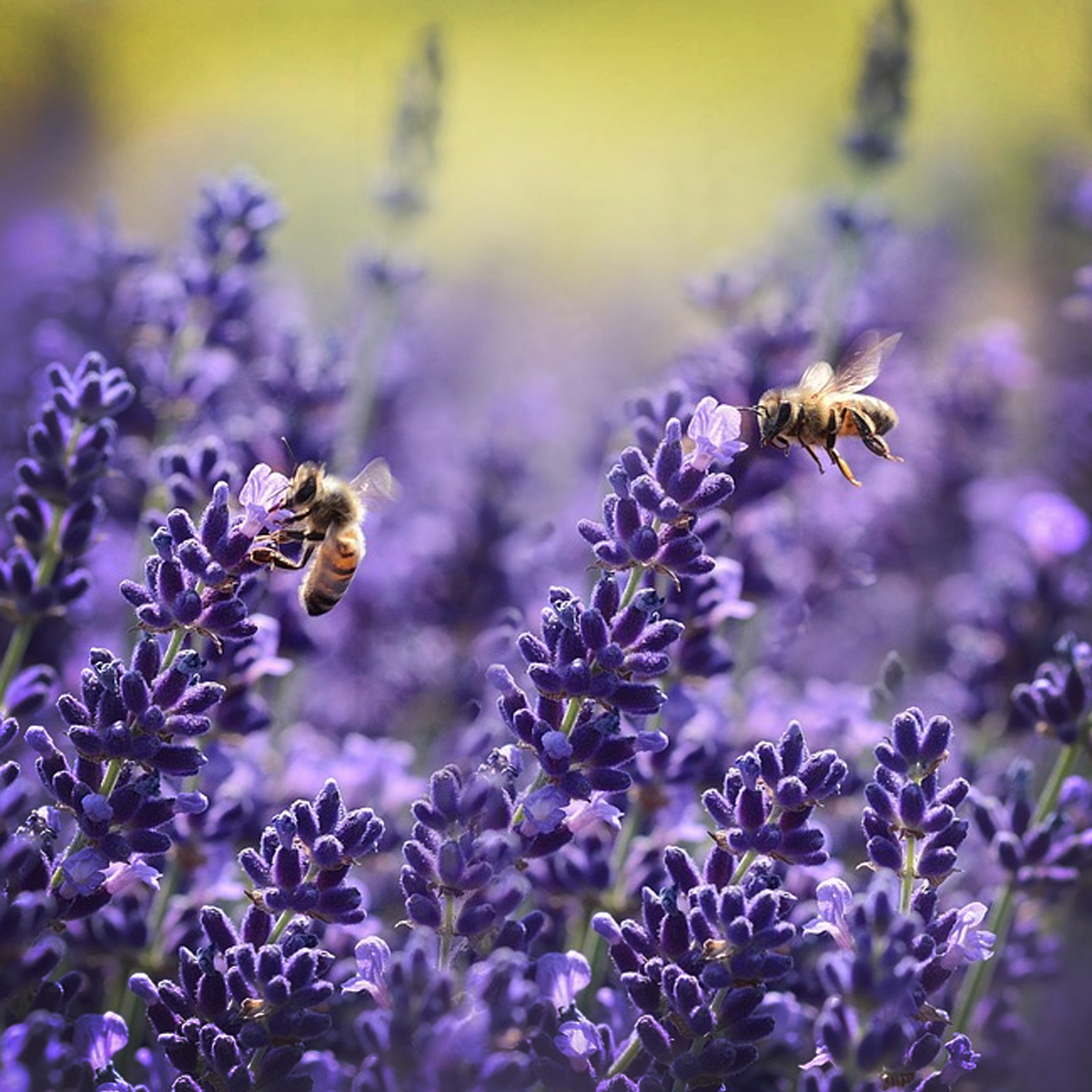 Lavender:  The true lavender essential oil. Very relaxing.