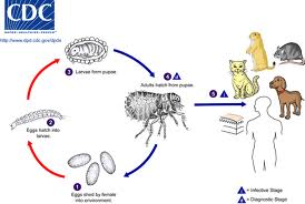 The life cycle of the common dog and cat flea.