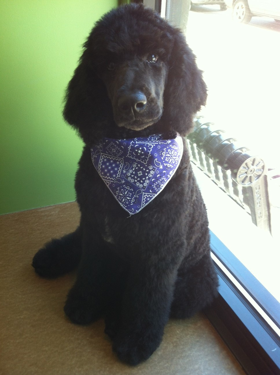 Shadow had his puppy's first groom at 4 months old and was so well-behaved Jessica was able to give him an all over trim!