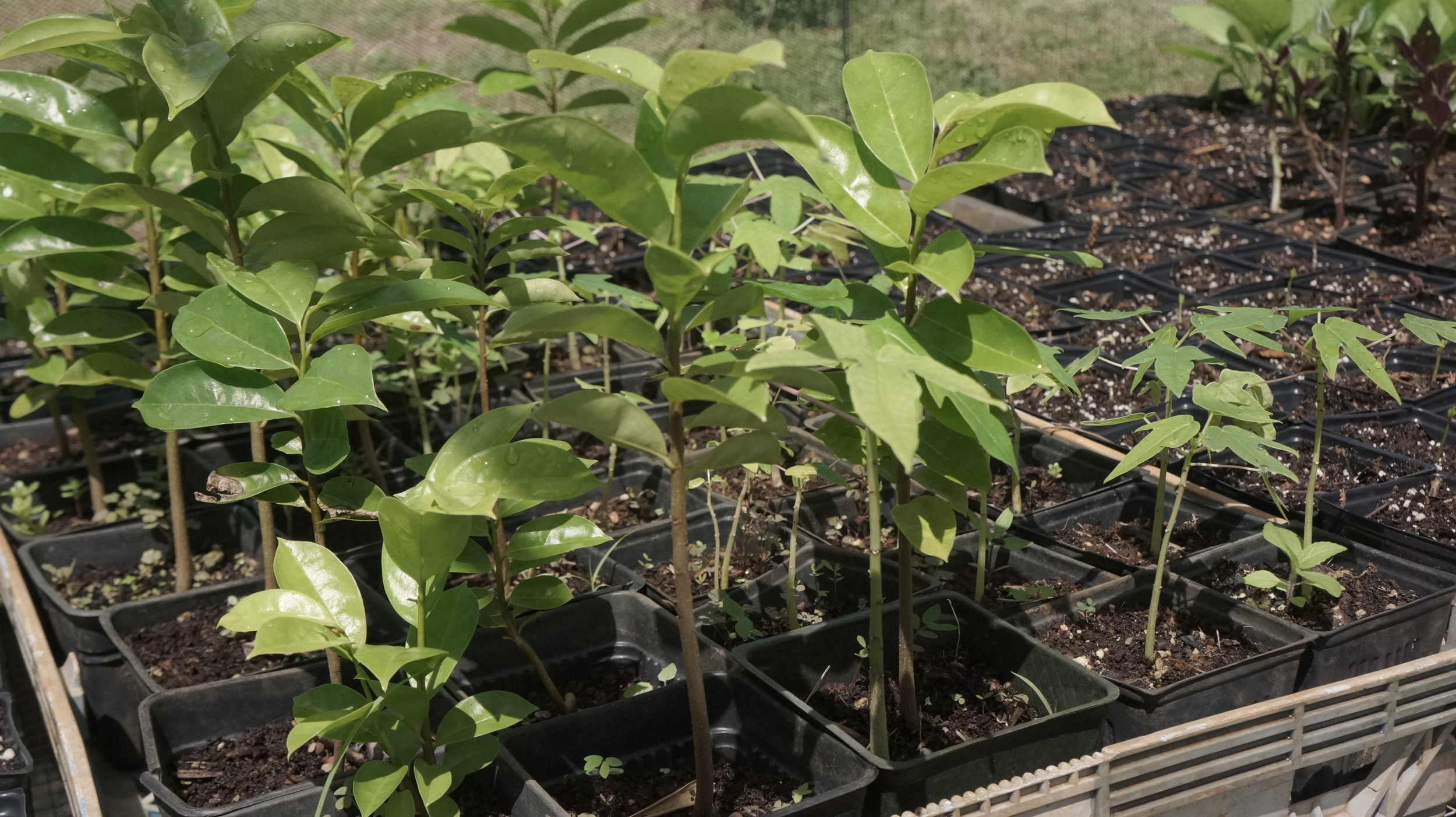 Sour sop trees ready for planting