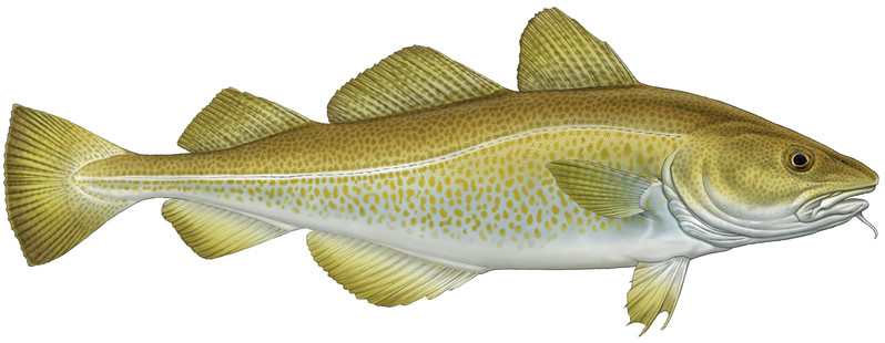 Atlantic Cod or Gadus morhua. Cod is our most popular fish at Krispies and generally in the South. However, in the North Haddock is the fish of choice
