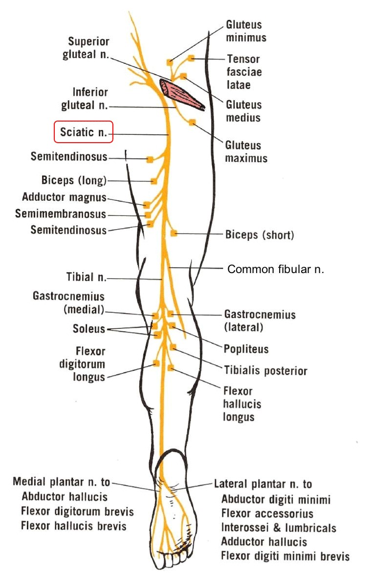 The sciatic nerve basically runs from your spine to the bottom of your foot.