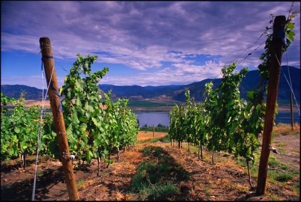 larose-vineyard-canada