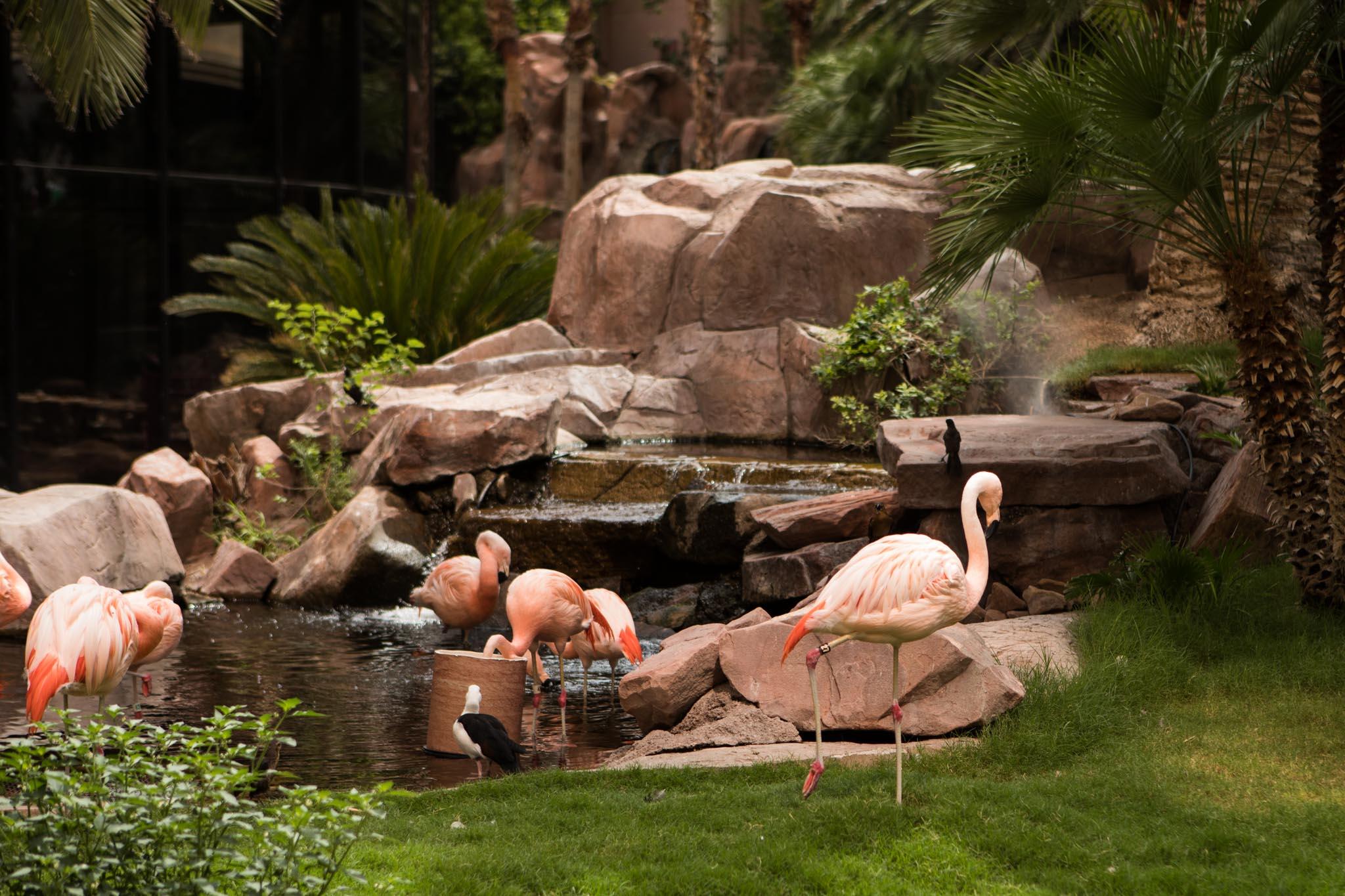 live flamingos at the Flamingo in Las Vegas.jpg