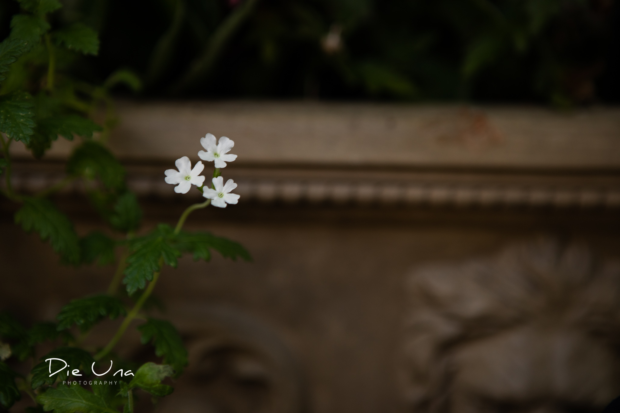 tiny white flowers in growing on the Terrace at the Auberge du Pommier in Toronto.jpg