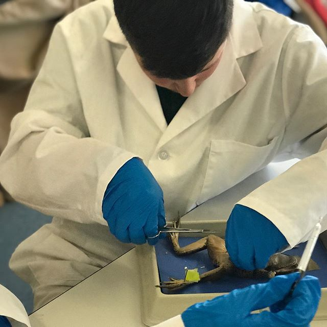 Not for the faint of heart, UCA's 6th and 7th grade Life Science students started dissecting frogs this morning.  #ucacrusaders #handsonlearning #scienceisfun