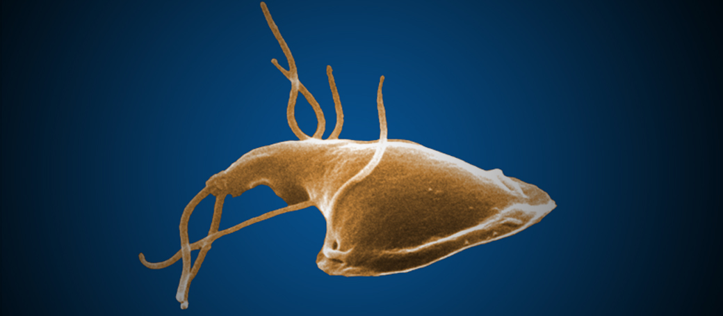 This is an image of a parasite called Giardia that prey on dogs' intestines. Symptoms of infection can be found in dog poop and spotted by a dog waste removal company like Big Business Scoopers. We will bag a fecal sample for dog owners to take to their veterinarian for diagnosis and treatment options.