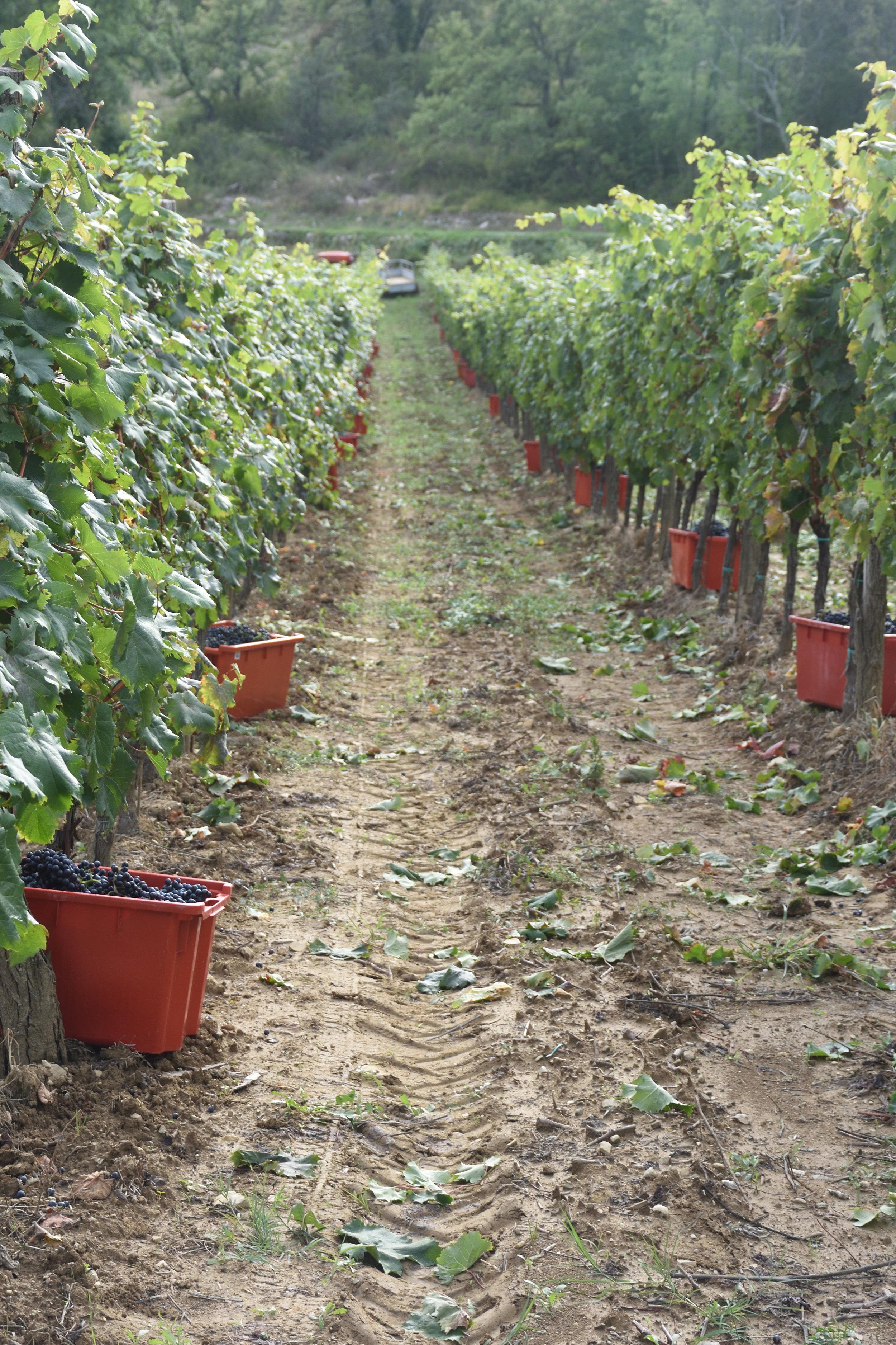 Grapes at Kozlovic Vineyard, 2016