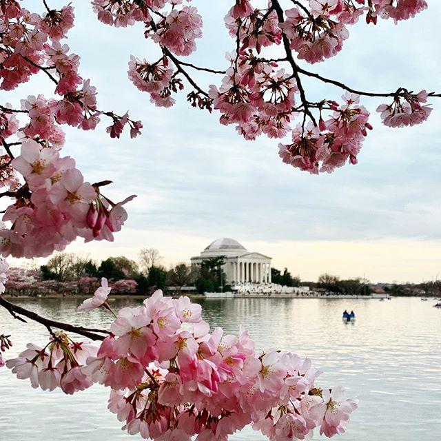 B L 🌸🌸 M  #cherryblossom #DC #mydccool #visitdc #washingtondc #tidalbasin #jeffersonmemorial #spring #igdc #nationalcherryblossomfestival
