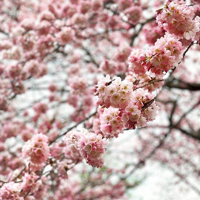 Hi Spring, nice to finally see you 👋🌸 • • • #cherryblossom #DC #mydccool #igdc #spring #washingtondc #tidalbasin #cherryblossomdc