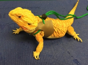 BEARDED DRAGON: This species is slightly larger than the leopard gecko (15-20 inches) with a similar lifespan (7-10 years). Bearded dragons require a large aquarium (50-100 gallons) and require UVB light. They eat both vegetables and insects and require calcium and vitamin supplements.