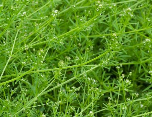 Cleavers Seeds — Ravensong Seeds & Herbals