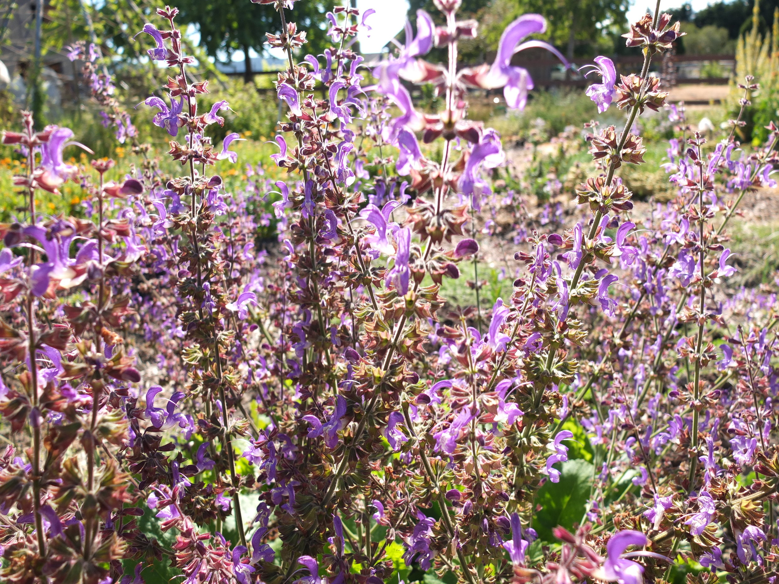 10 Seeds Indigo Herb Seeds