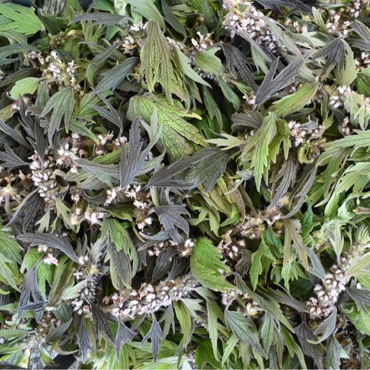 Freshly harvested leaf and flower of Motherwort.