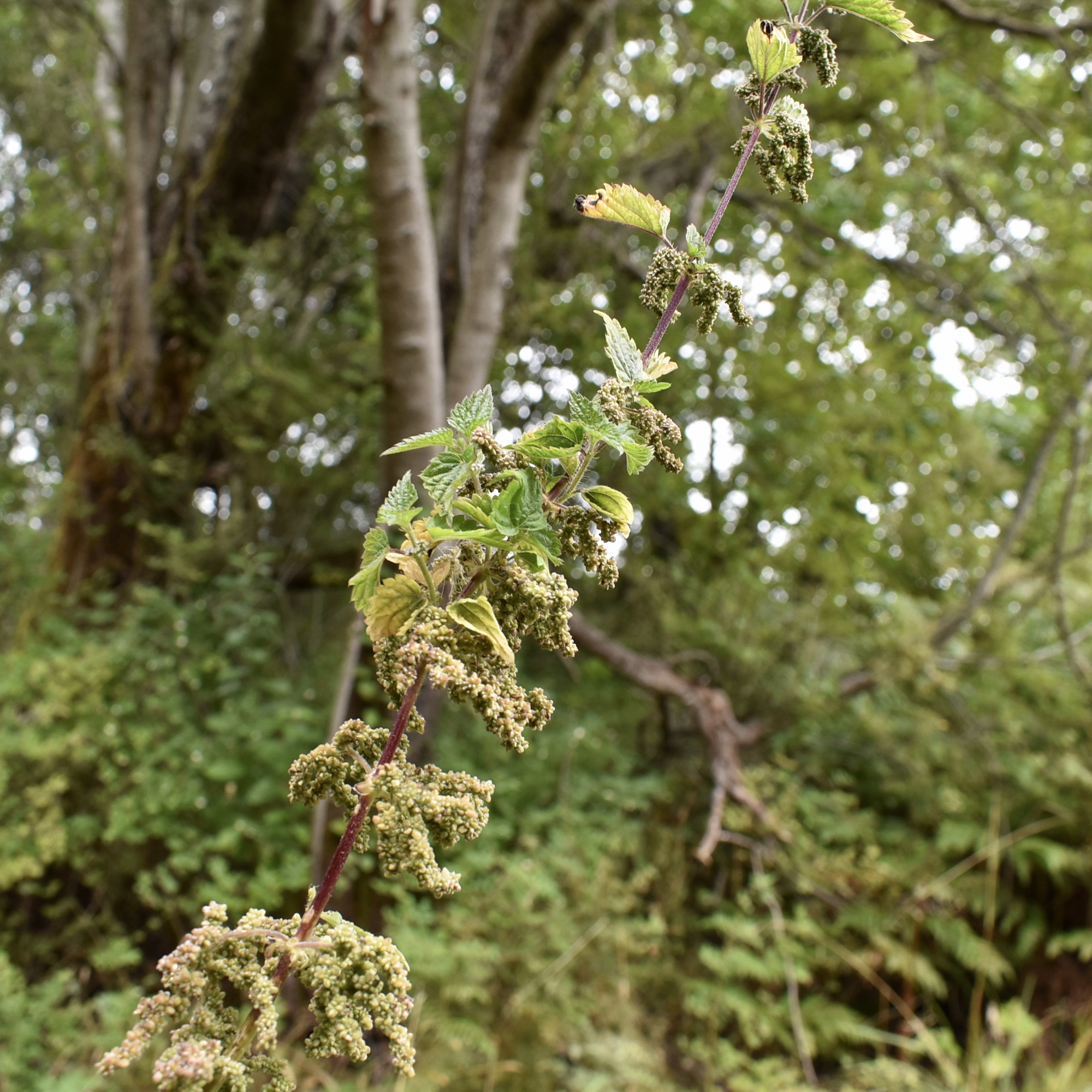 Stinging Nettle with unripe green seed clusters at the perfect stage to harvest.