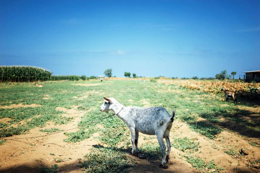 A goat grazing on the farmland.