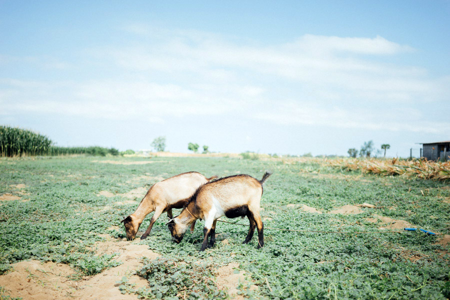 Goats grazing on the farmland.