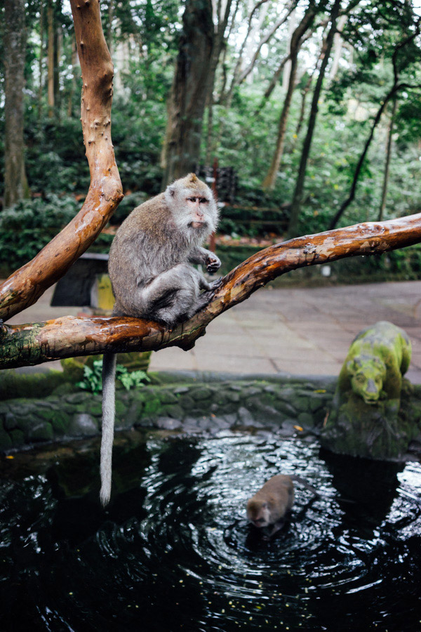 Just a few macaques at the Sacred Monkey Forest Sanctuary in Ubud. The animals are a bit aggressive here, as they've gotten used to being fed bananas and coconuts by tourists. Still fun to observe, nonetheless.