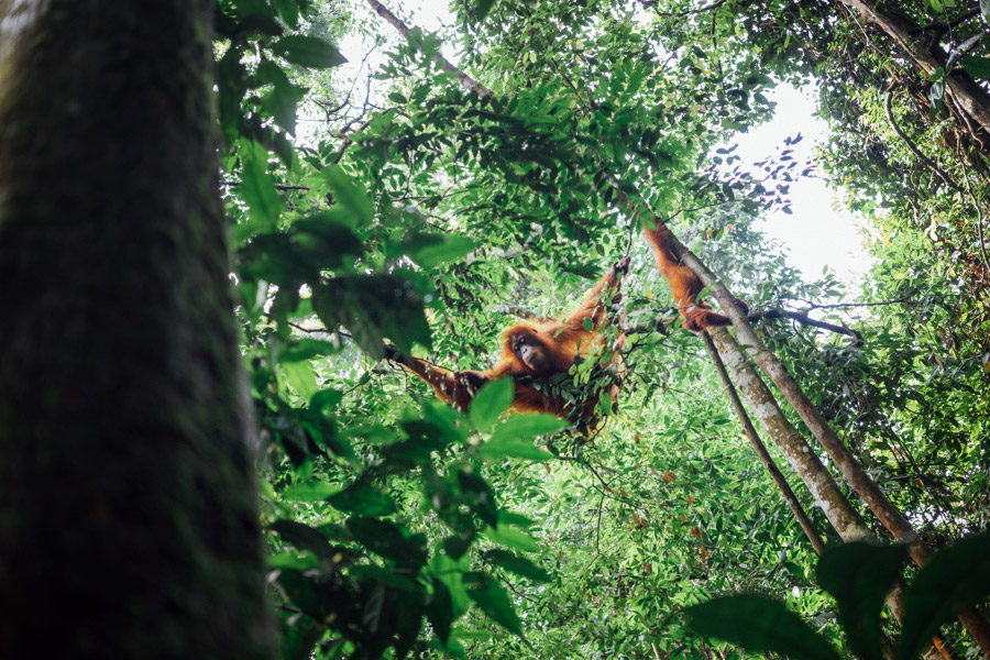 The first orangutan of many that we saw over the course of two days trekking in North Sumatra.