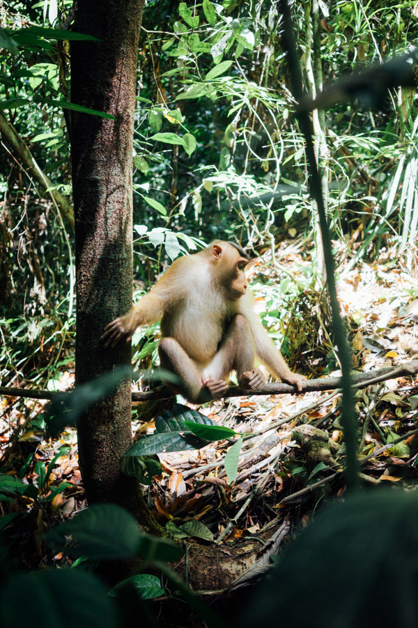 A long-tailed macaque at Gunung Leuser National Park in North Sumatra, Inodnesia.