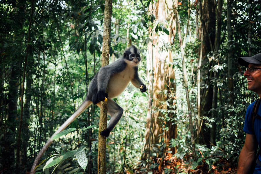 Thomas's Langur or Thomas's Leaf Monkeys in the jungles of Gunung Leuser National Park.