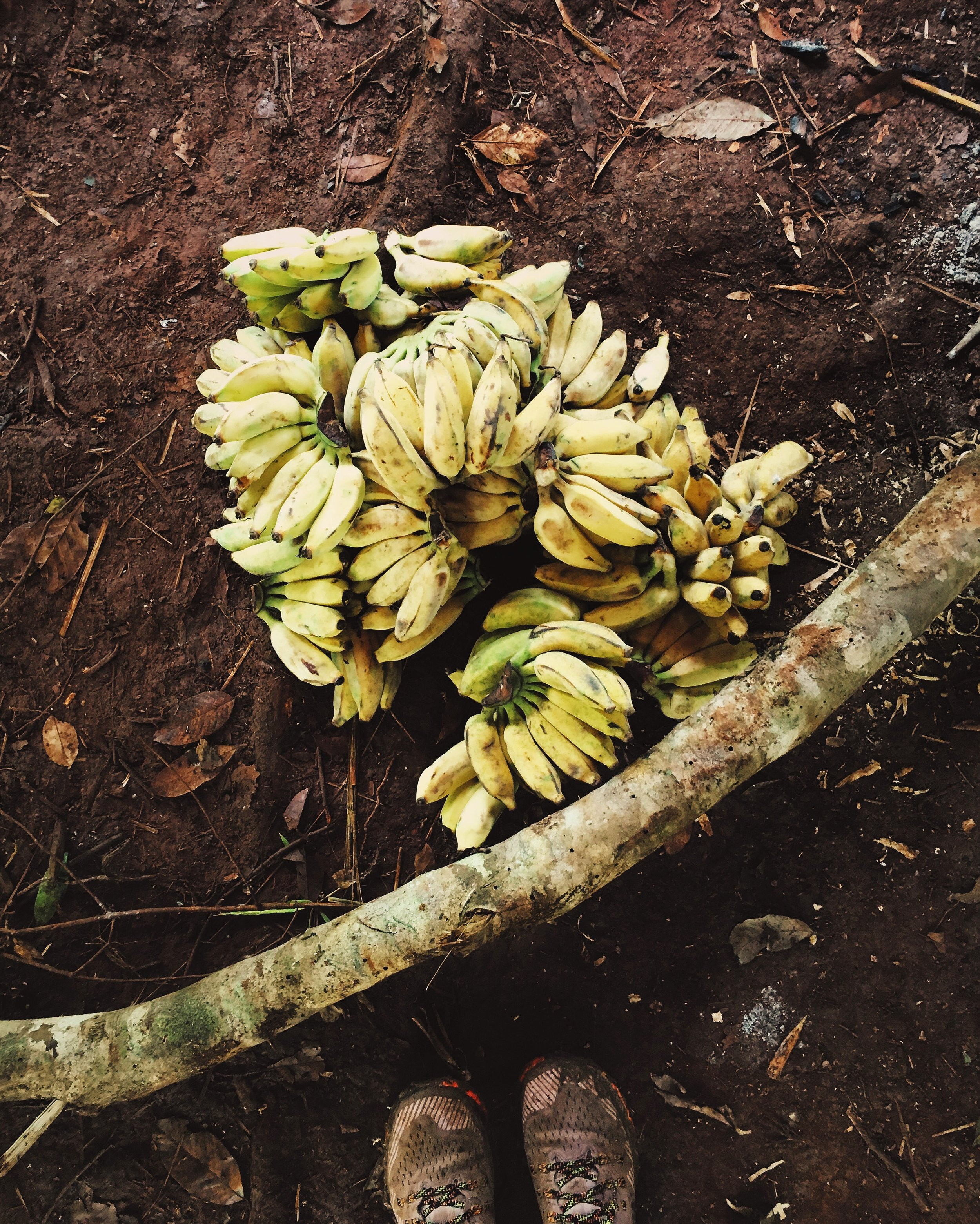 Bananas for days! (For elephants, this is only 10 minutes of food!)