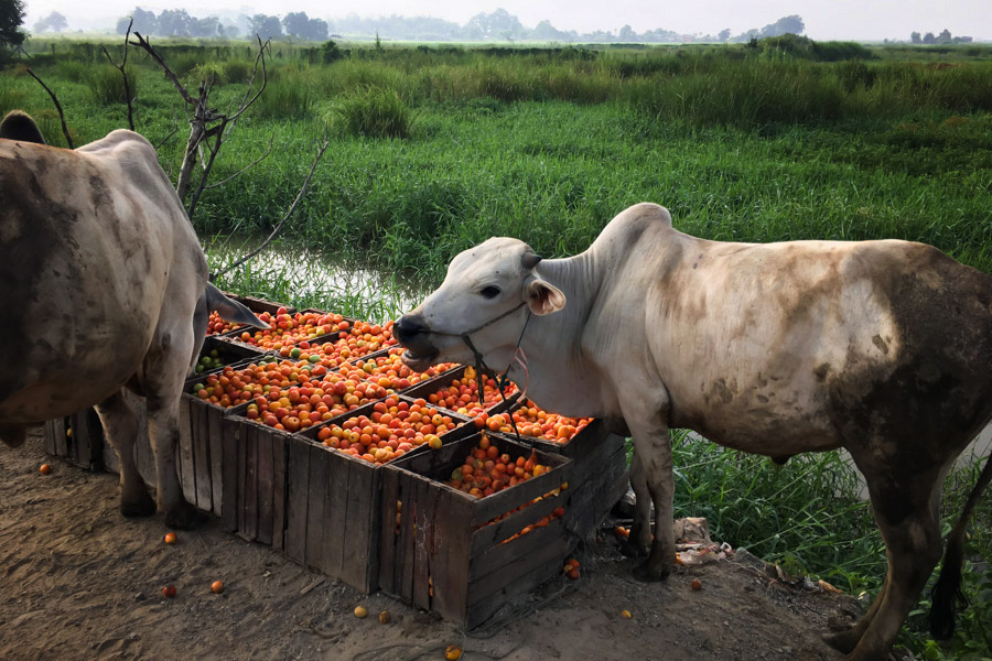 Cows feasting on hydroponic tomatoes farmed on Inle Lake.