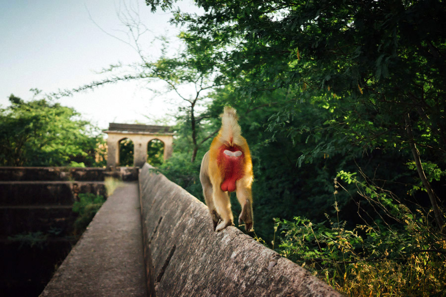 A macaque guarding his territory at the abandoned Taragarh Fort above Bundi in Rajasthan, India.