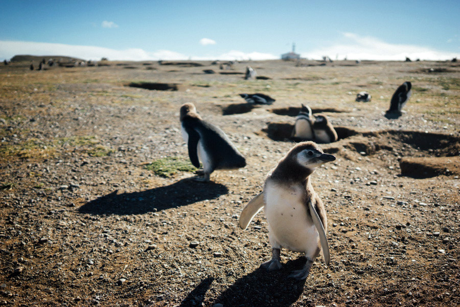 If we weren't going to make it to Antarctica to see penguins, at least we could see them on Isla Magdalena. This was the furthest south we made it in South America, and these little guys were here to greet us.