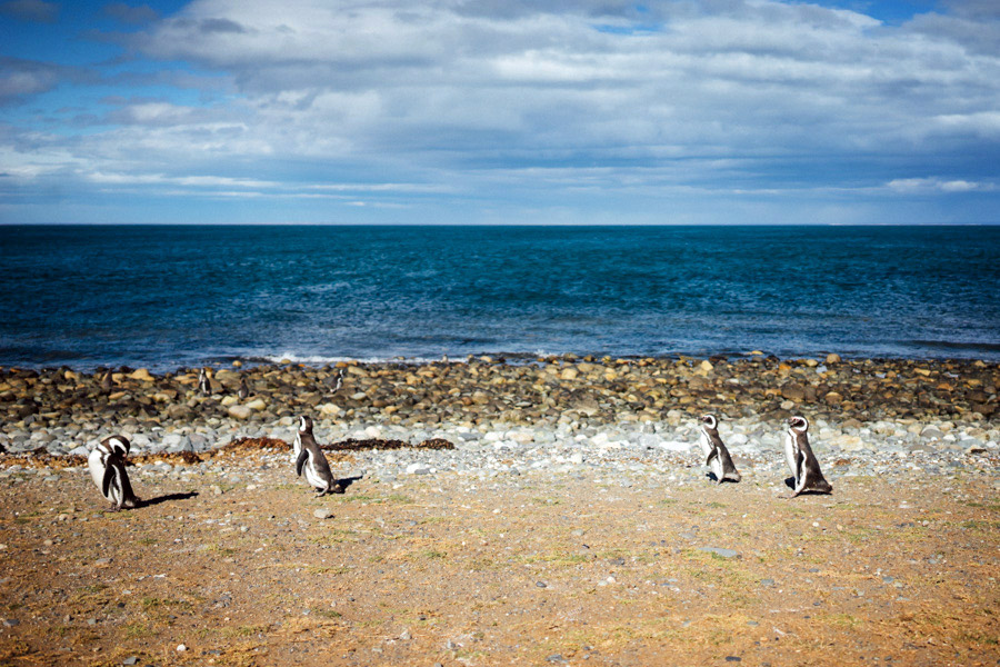 Penguins walking the shore on Isla Magdalena.