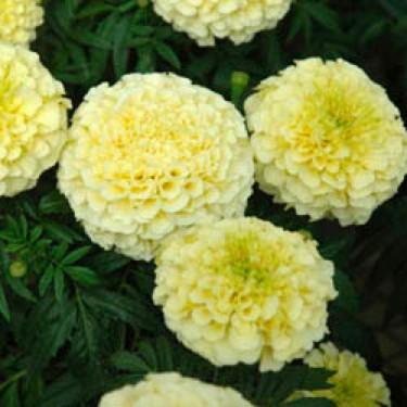 Creamy Vanilla African Marigold