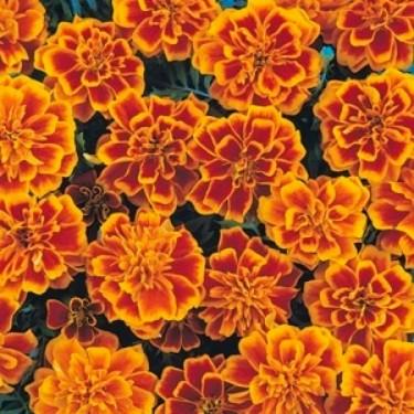 French Bonanza Flame Marigold