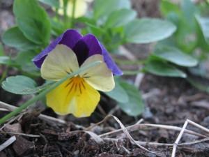skillet garden 013