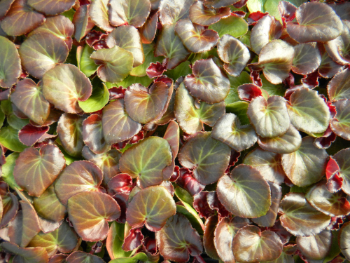 Bronze-leaf begonia cuttings, awaiting potting