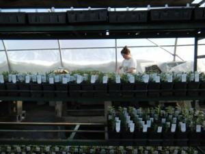 Kate potting up rosemary