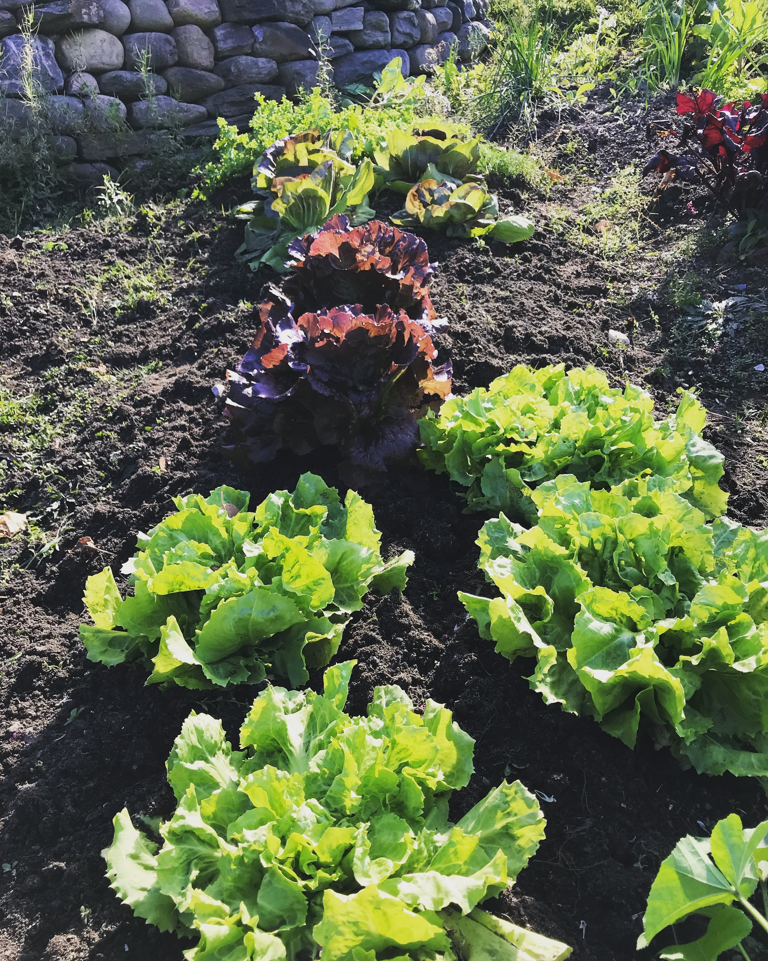 Lettuce, Raddichio and Escarole in November.