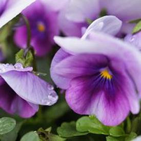 Annuals -
